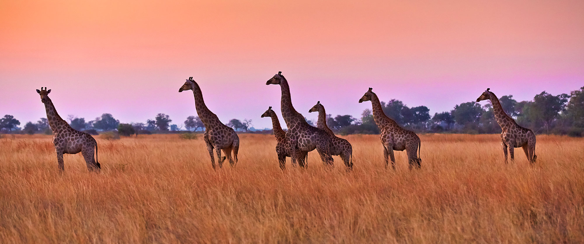 Botswana Safari Tour: Peak Season Okavango Adventure - Giraffes at Sunset