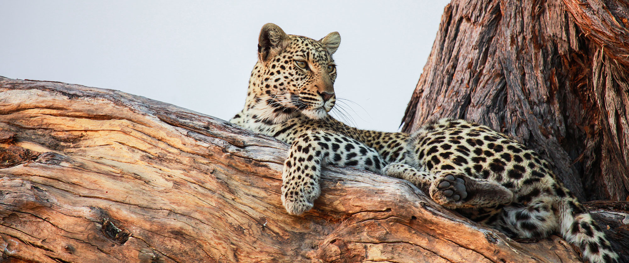 Botswana Safari Tour: Peak Season Okavango Adventure - Leopard in Tree