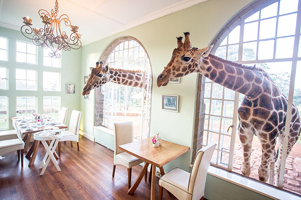 Giraffes sticking their heads in for breakfast at Giraffe Manor, Kenya