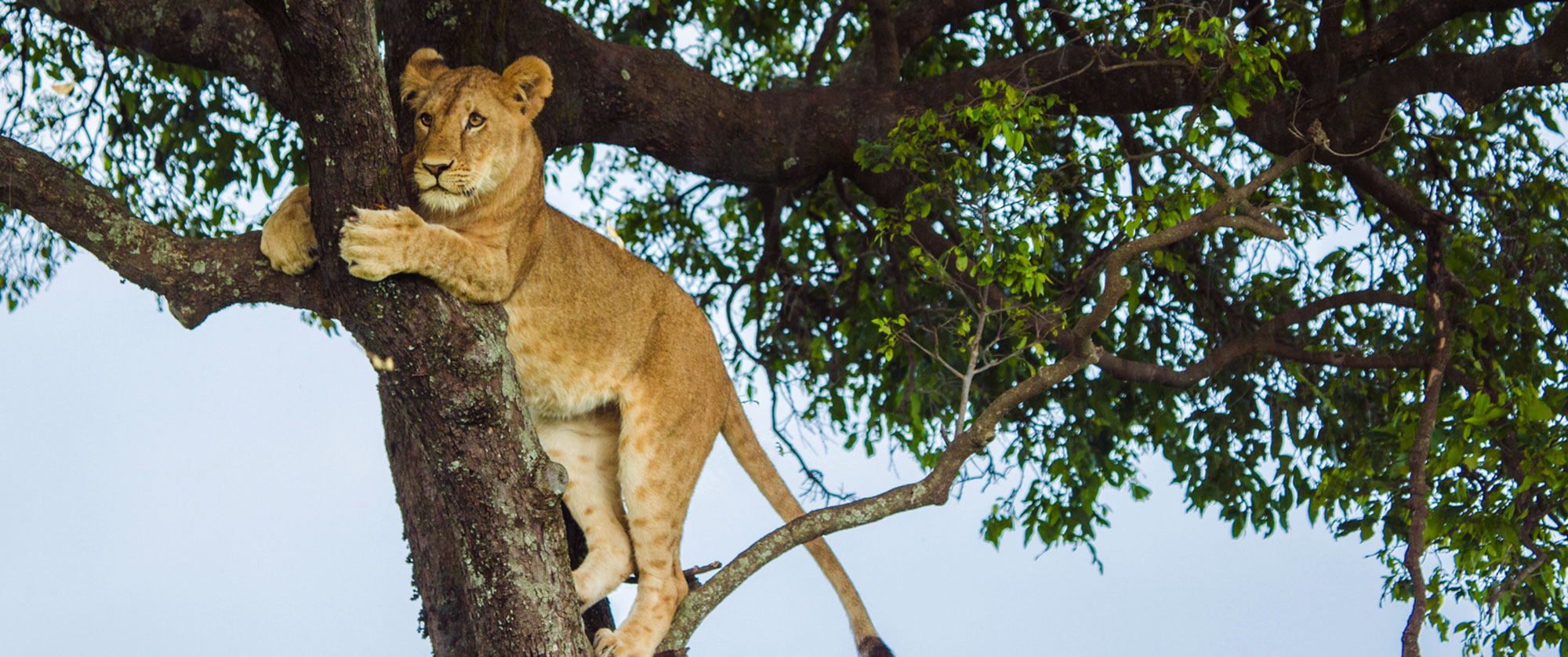 Luxury Kenya Vacation Packages - Best Safari Lodges Kenya, Big 5 Safari, Tree Climbing Lion on Game Drive