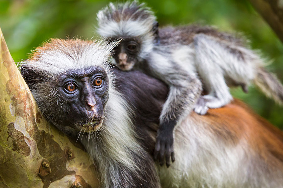 African Beach Vacations - Endangered Red Colobus Monkey in Zanzibar