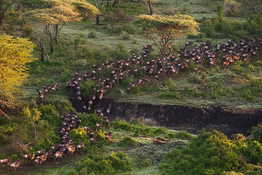 East Africa Safari Travel - Great Migration, Wildebeest in the Serengeti, Tanzania