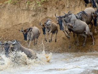 East Africa Safari Travel - Great Migration River Crossing in the Maasai Mara