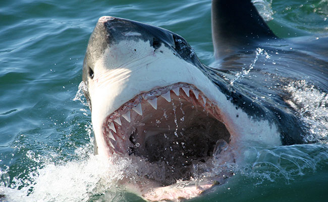 south-africa-best-time-to-visit-birkenhead-house-great-white-shark