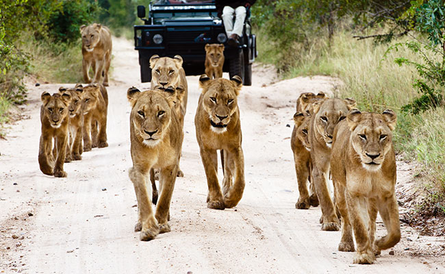 south-africa-best-time-to-visit-kruger-wildlife-safari-sabi-sabi-lions-on-road
