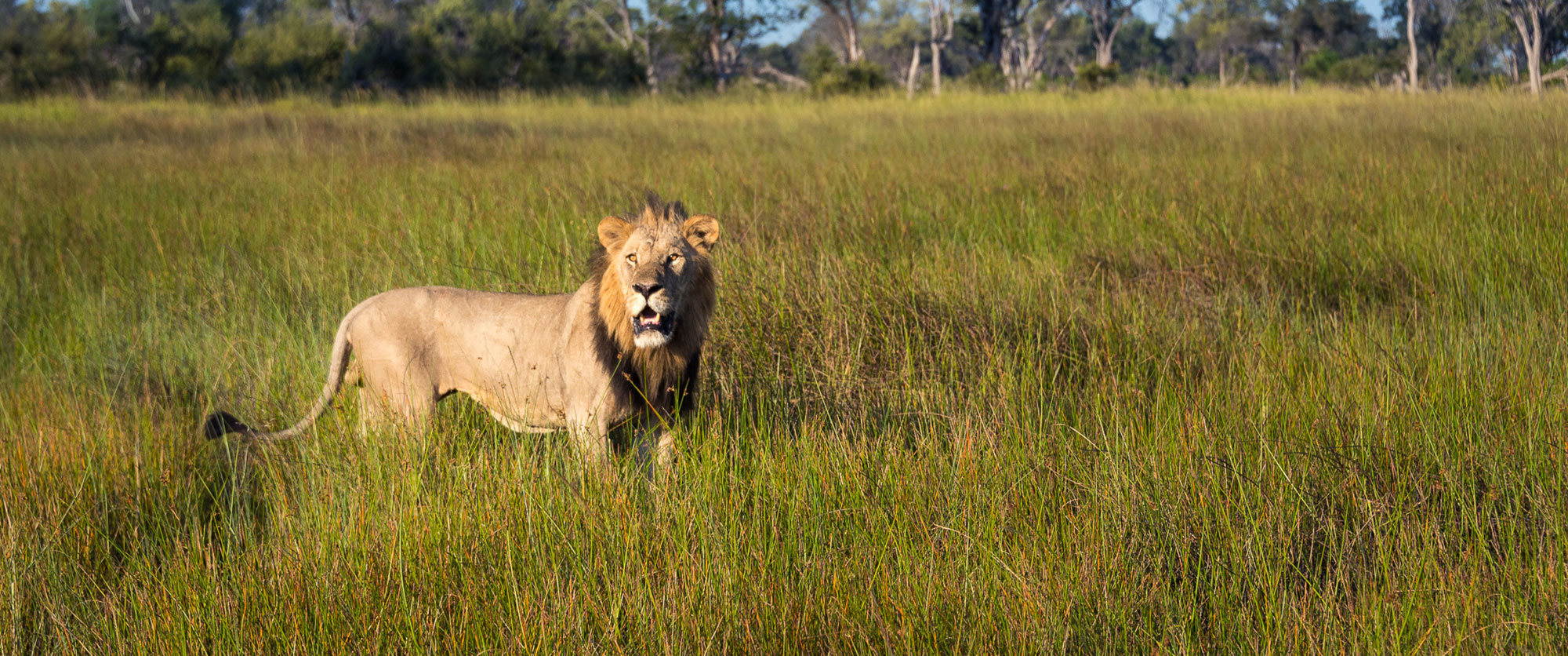 Lion spotted on an Okavango Delta safari at Vumbura Camp, Botswana