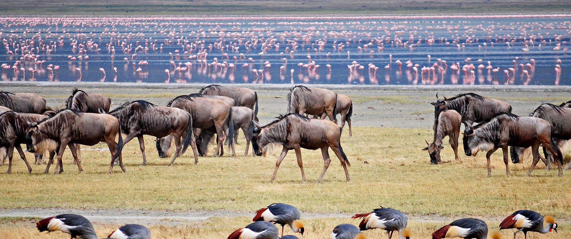 Lake Manyara Wildebeest and Flamingos