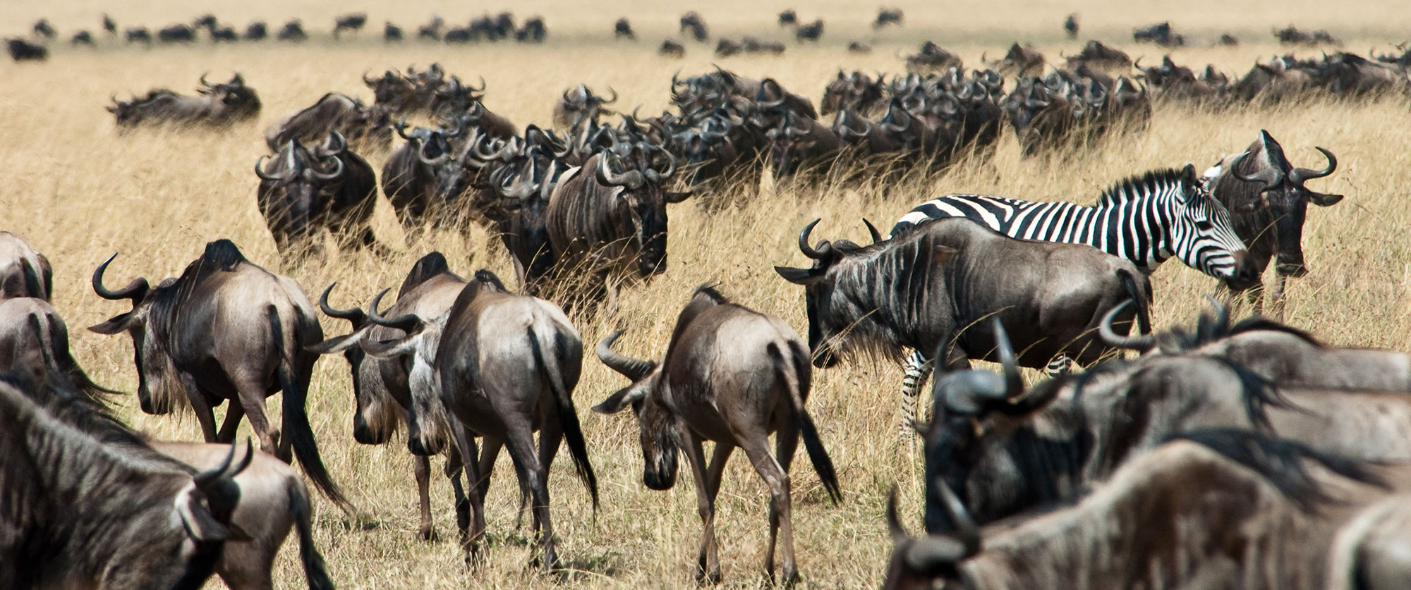 Karen Blixen Camp Kenya - Wildebeest Great Migration