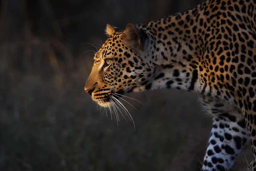 Leopard Spotted on Safari at Royal Malewane Lodge
