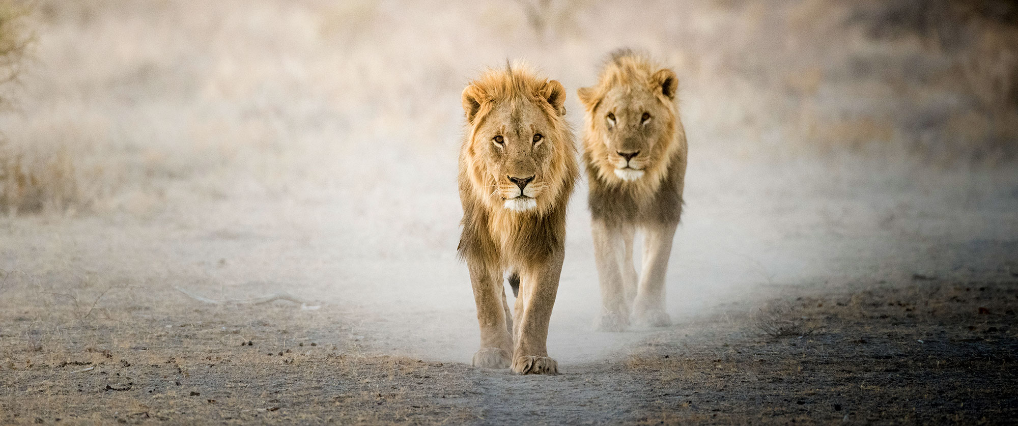 Lions in Etosha National Park - Ongava Lodge, Namibia