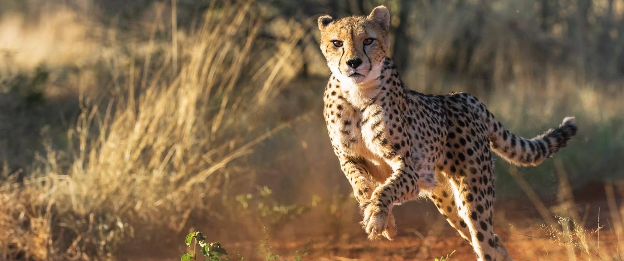 Cheetah at Okonjima Nature Reserve, Namibia - AfriCat Foundation - Namibia Safari