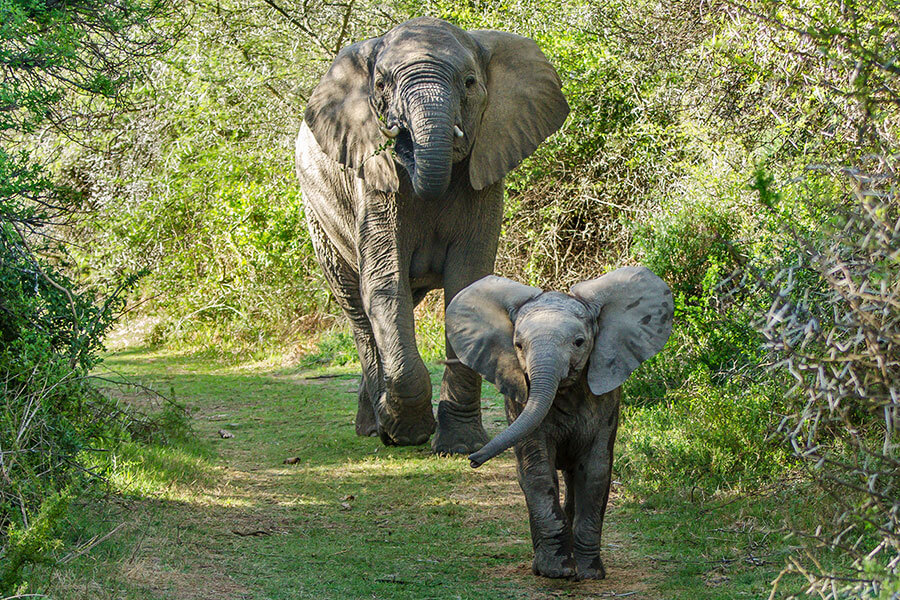 South Africa safari - Elephants on Kwandwe Game Reserve