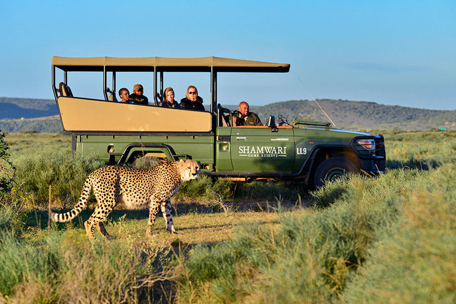 South Africa safari - Cheetah on Shamwari Game Reserve