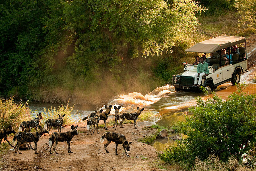 South Africa safari - Wild dogs at Madikwe