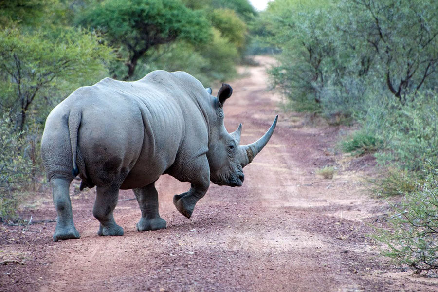 South Africa wildlife safari - Rhino on road