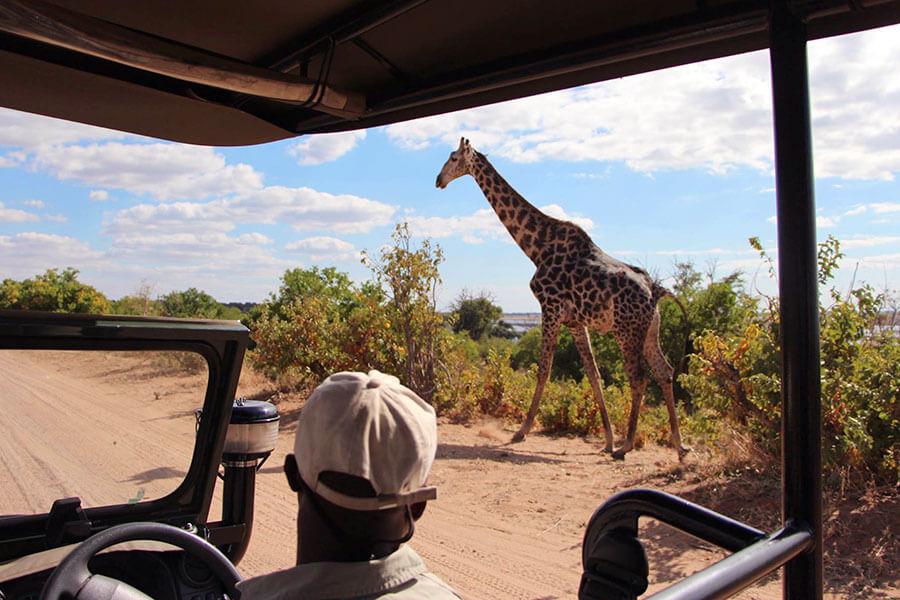 Botswana safari - Giraffe in Chobe