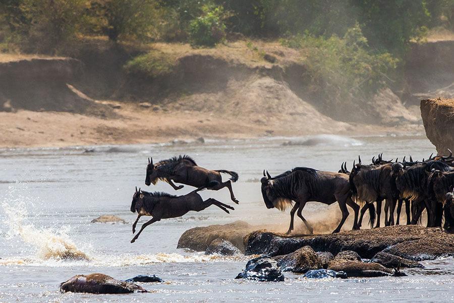Kenya Great Migration safari - Wildebeest crossing the Mara River