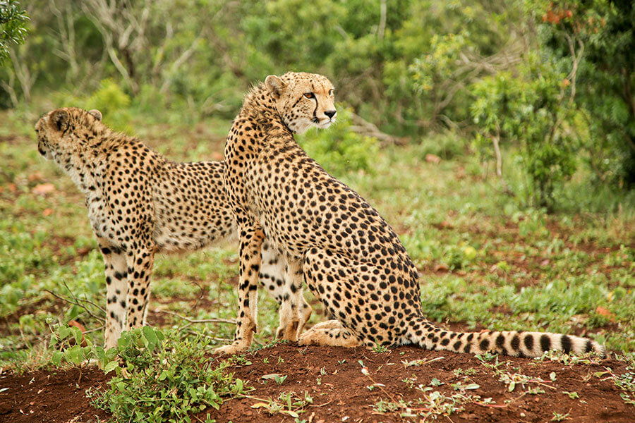Cheetahs on safari at andBeyond Phinda Homestead