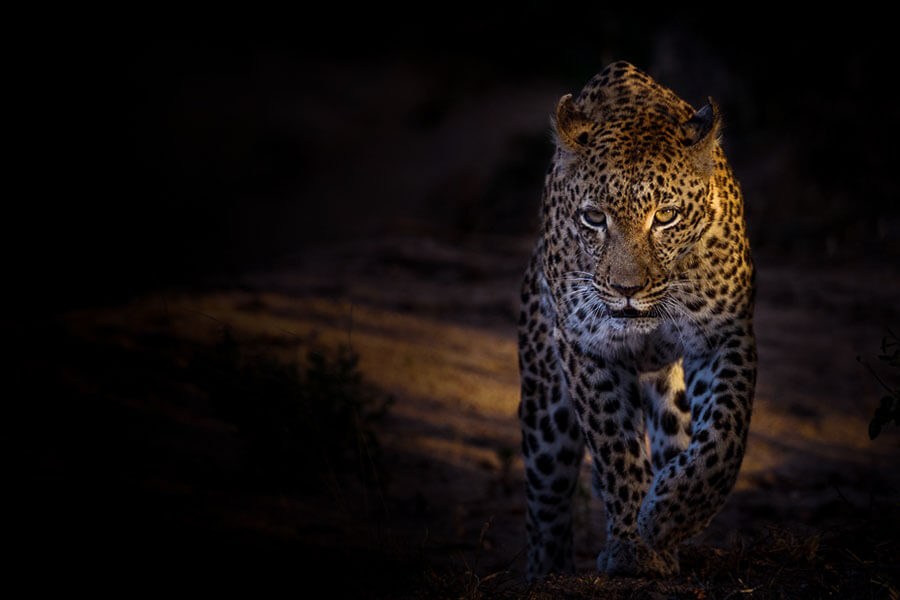 Kruger safari South Africa - Leopard on night game drive at Sabi Sabi