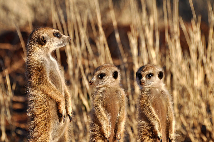 Habituated meerkats at Tswalu Kalahari South Africa