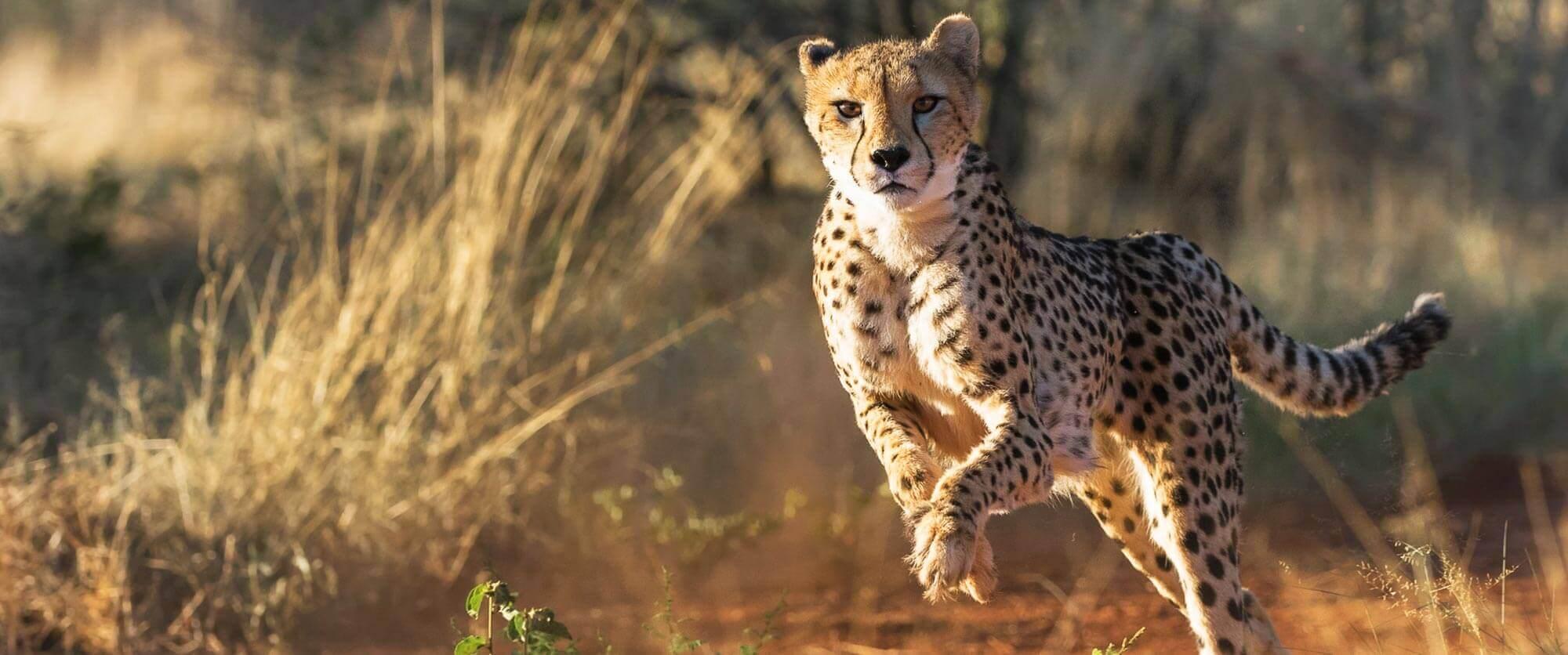 Cheetah at Okonjima Nature Reserve, Namibia - AfriCat Foundation - Namibia Highlights Vacation