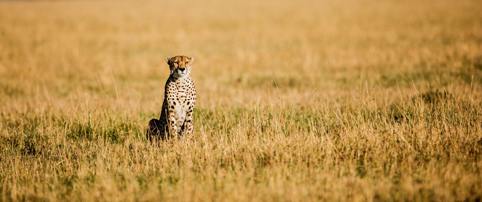 Cheetah in the Serengeti - Legendary Serengeti Mobile Camp Safari - Great Migration Safari Packages