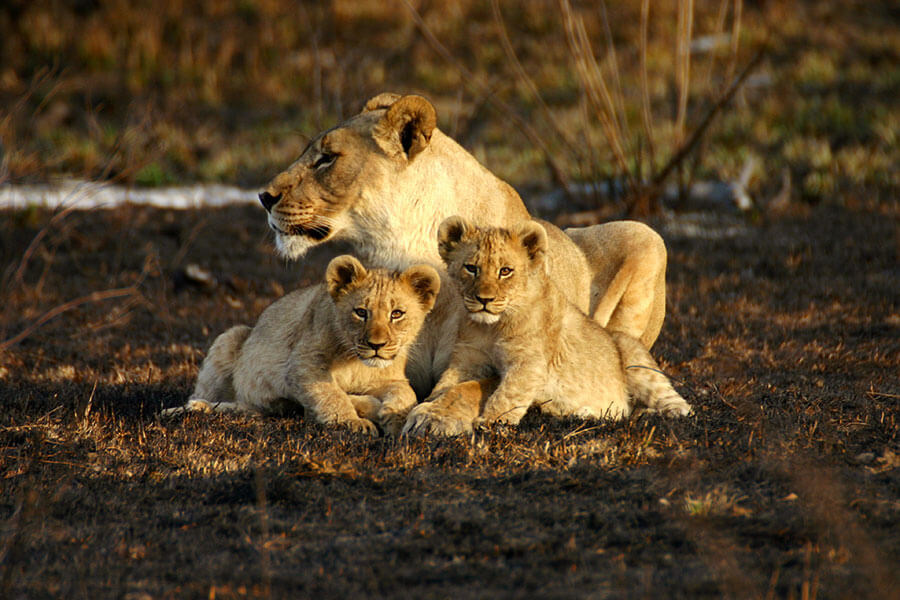 Madikwe Safari Lions - Jamala Madikwe Lodge - African Family Safari