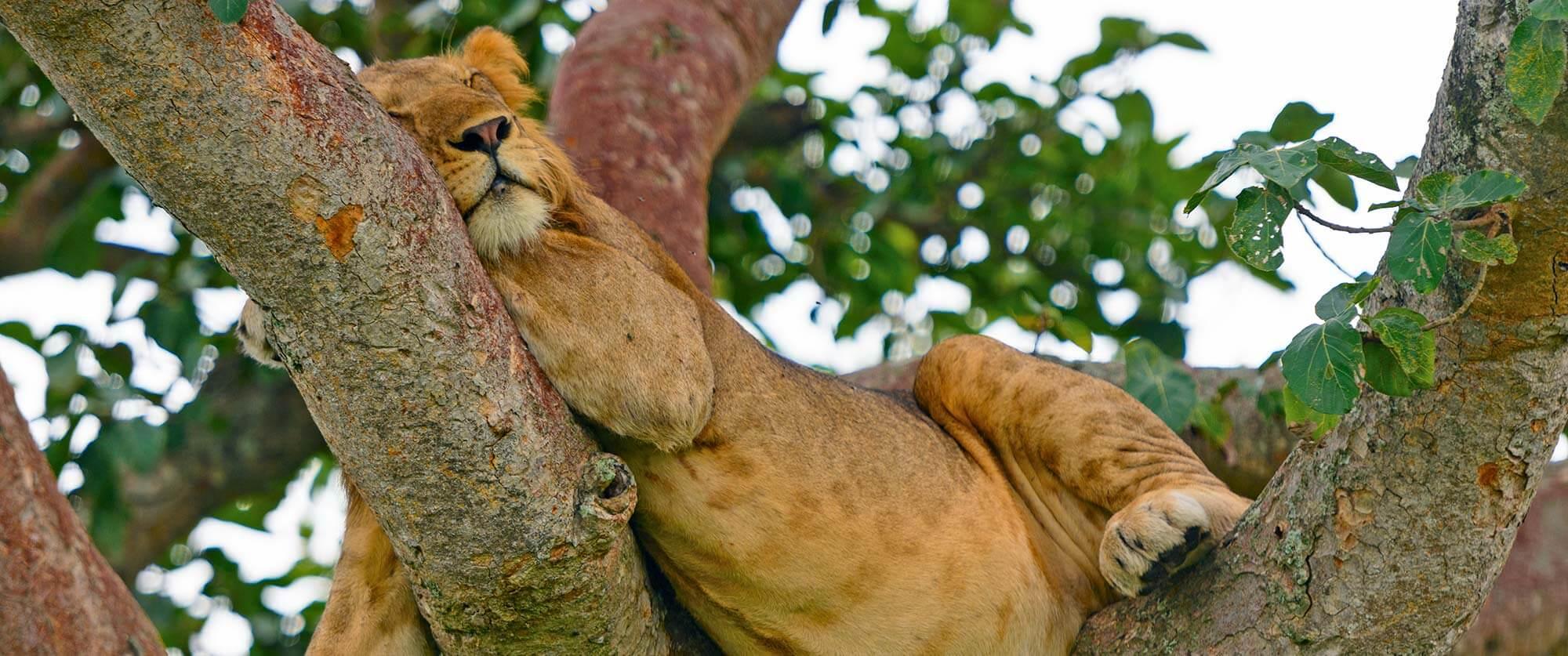 Tree Climbing Lions in Ishasha, Uganda - Bwindi Impenetrable National Park - Uganda and Rwanda Gorilla Trekking Tour