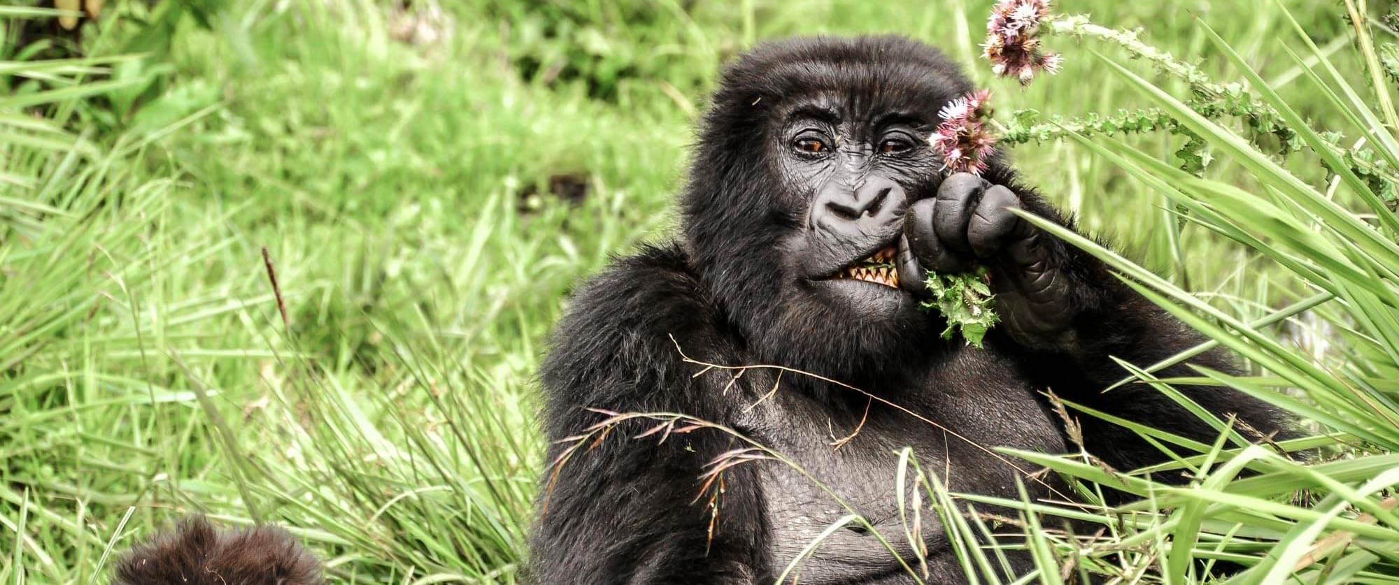 Gorilla eating thistles in Volcanoes National Park - Sabyinyo Silverback Lodge - Uganda and Rwanda Gorilla Trekking Tour