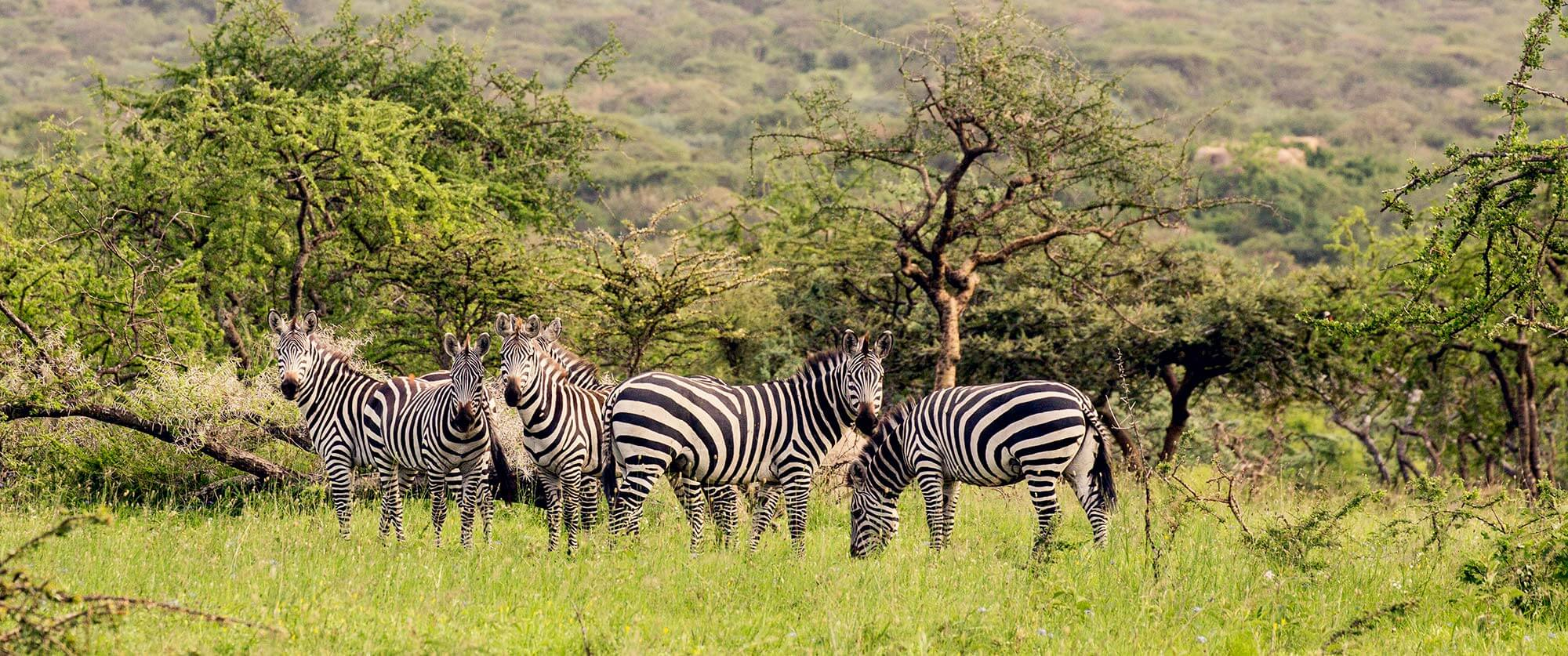 Zebras on Mwiba Wildlife Reserve - Serengeti Safari - Tanzania Safari Tours: Ultimate Northern Circuit Package
