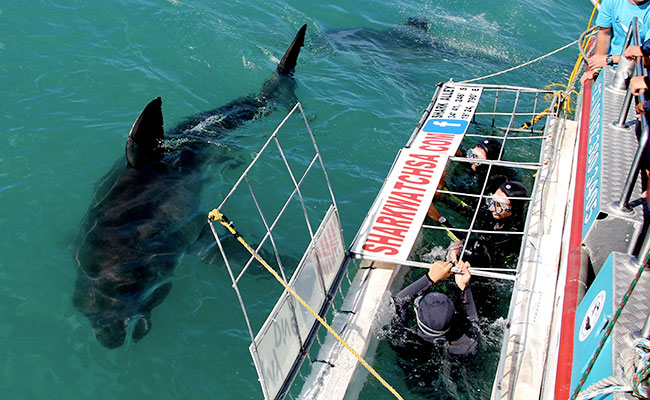 South Africa shark cage diving