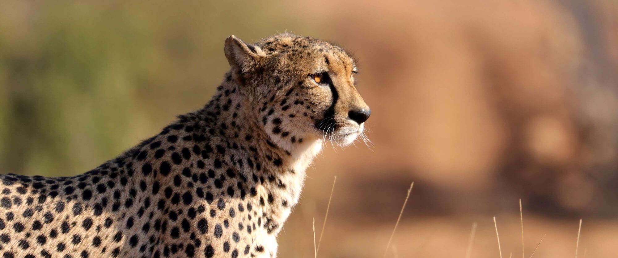 Cheetah on Safari at Garonga Safari Camp - Kruger Safari, City, and Winelands Vacation