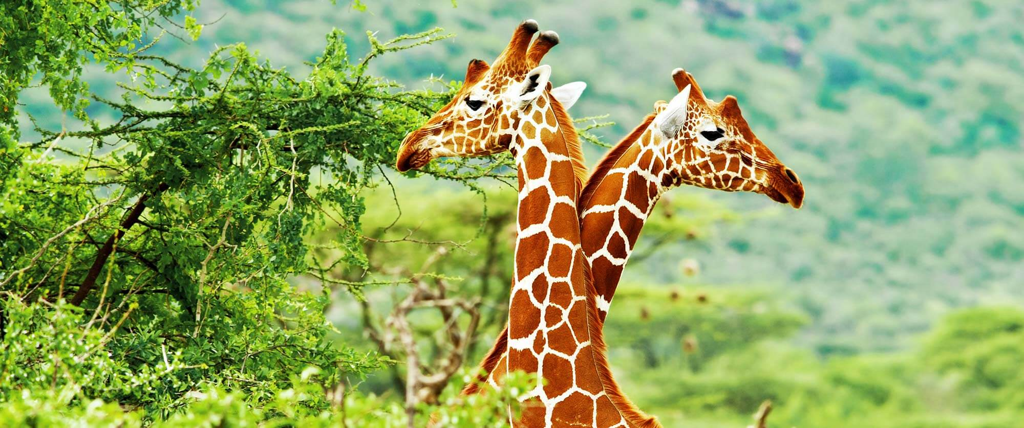 South Africa Kruger Safari - Sabi Sands Safari - Giraffes - South Africa Honeymoon: Luxury Highlights Tour