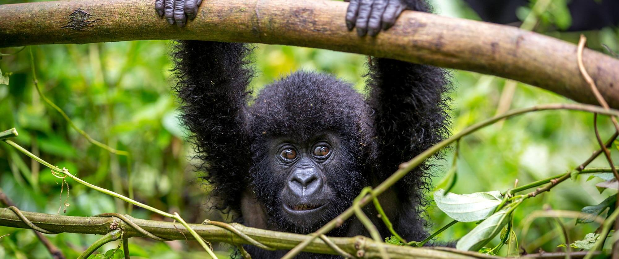 Baby Gorilla in Bwindi Impenetrable Forest - Ugandan Adventure: Gorilla Safari Tour