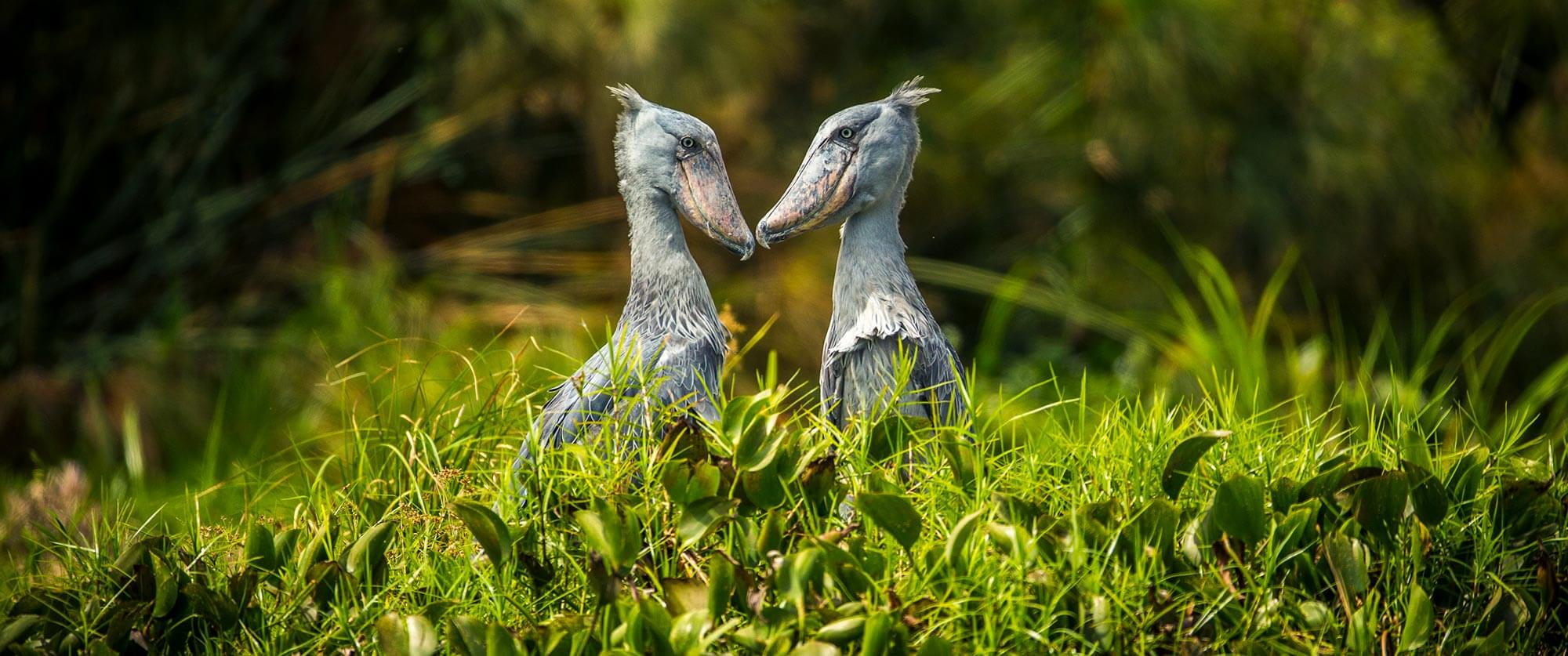 Shoebills - Murchison Falls Safari - Ugandan Adventure: Gorilla Safari Tour