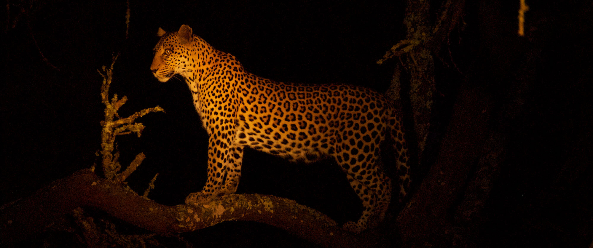 Leopard at Night - Lake Mburo Safari Uganda - Ugandan Adventure: Gorilla Safari Tour
