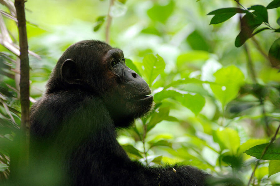 Chimpanzee - Mahale Tanzania - Greystoke Mahale Camp