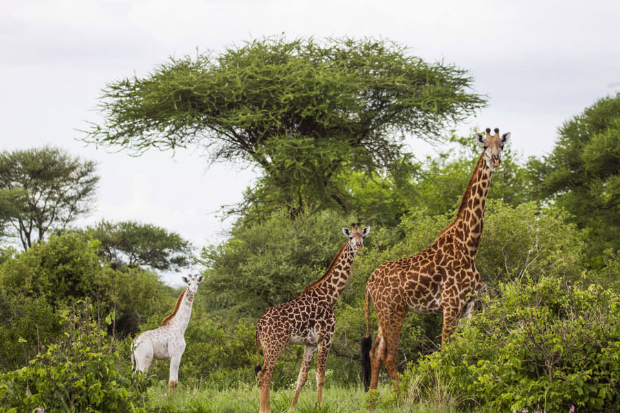 Giraffes on safari - Lake Manyara Tanzania - Little Chem Chem