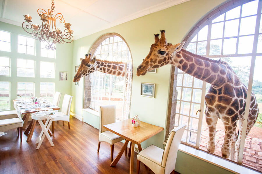 Giraffes in the hotel - Nairobi Kenya - Giraffe Manor