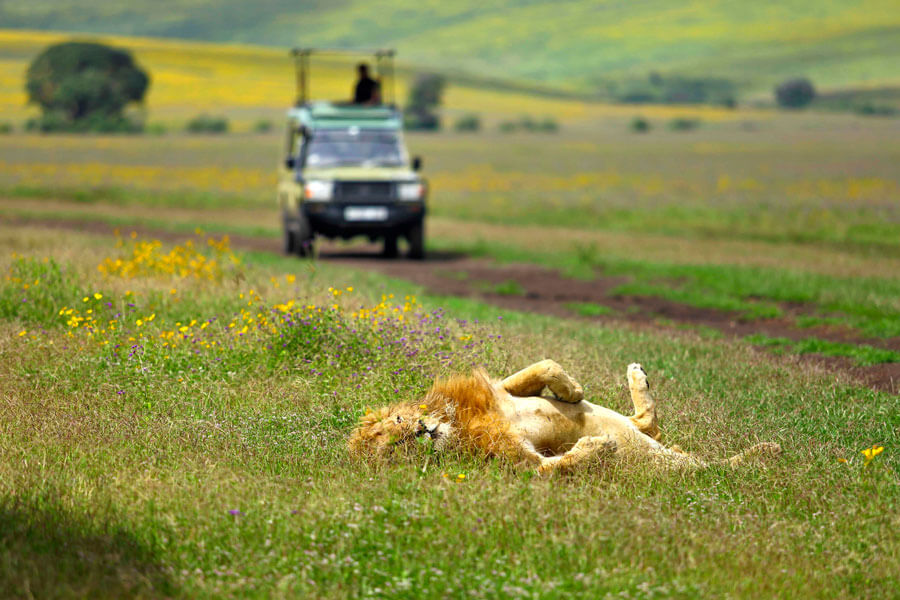 Lion on Ngorongoro safari - Ngorongoro Tanzania - The Highlands Ngorongoro