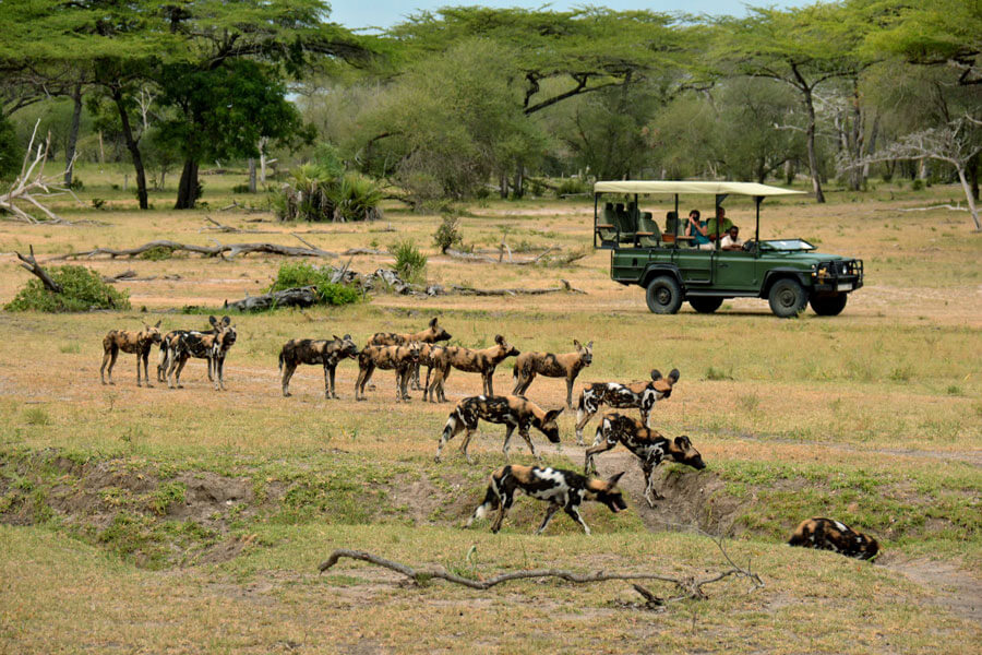 Wild dogs on safari - Selous Tanzania - Siwandu Camp
