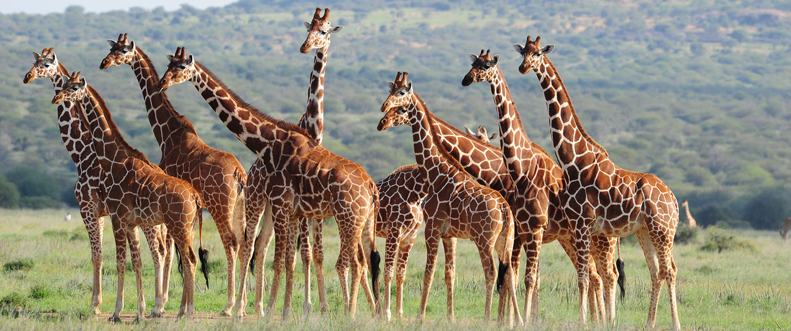 Giraffes Spotted on Karisia Walking Safaris - Kenya Walking Safari: A Walk in the Wild Travel Package