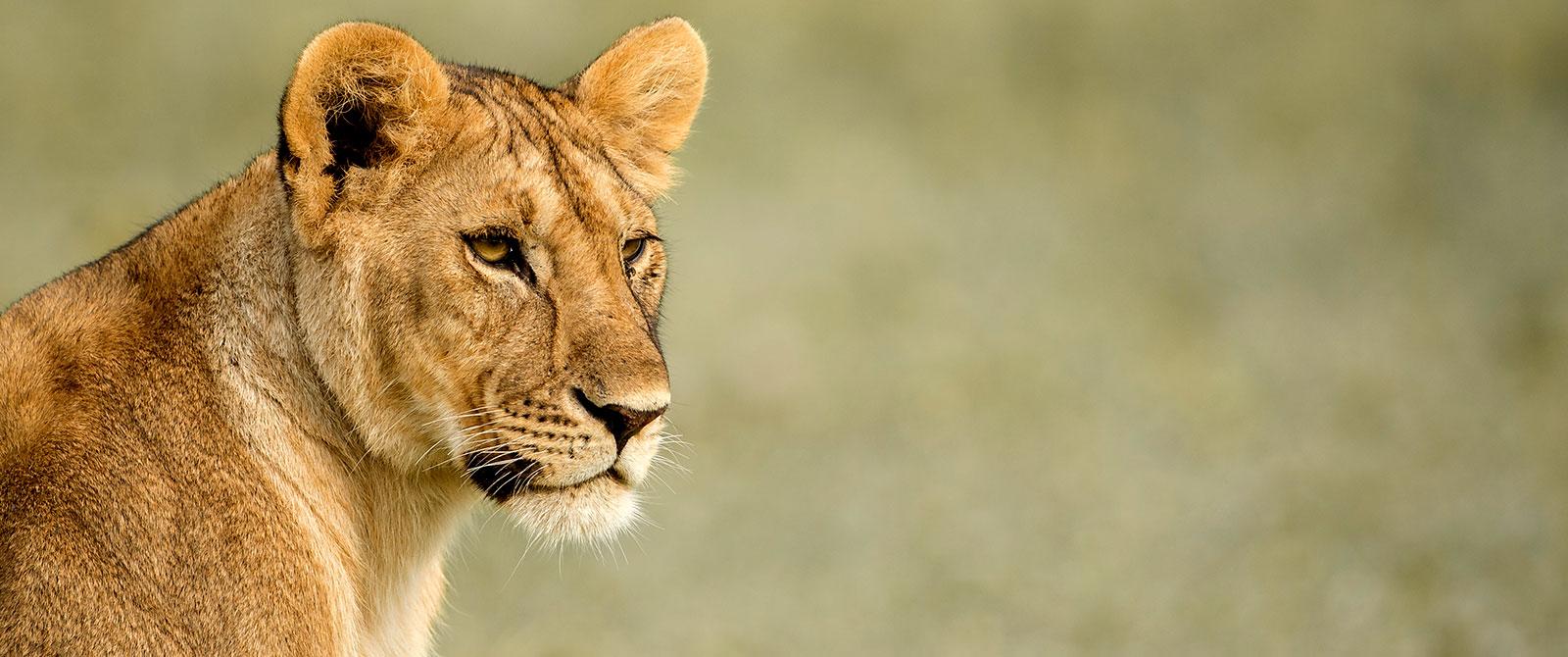 Singita Faru Faru Lodge - Lioness on a Serengeti Great Migration Safari - Tanzania Highlights: Tarangire, Ngorongoro, and Serengeti Safari