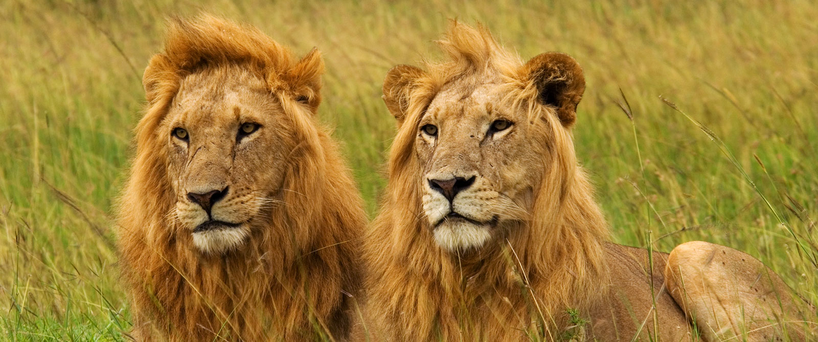 Lions on Safari from Karen Blixen Camp - Masai Mara National Reserve Kenya - Luxury Air Safari: Kenya Adventure Package