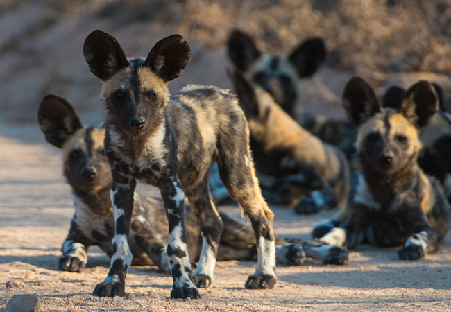 African Wild Dogs - African Wildlife Safari - Beyond the Big 5