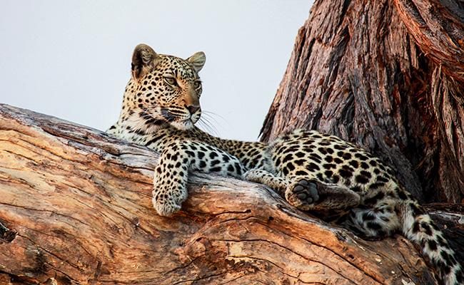 African Safari Photography Tips - Leopard in the Okavango Delta