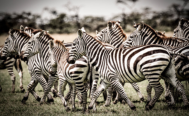 African Safari Photography Tips - Zebras in Kenya