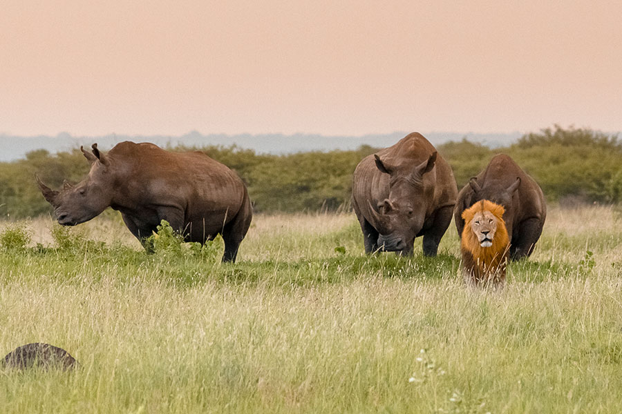 Lion and Rhinos on a Green Season Safari