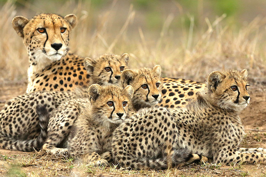 Mother and Baby Cheetahs on Safari