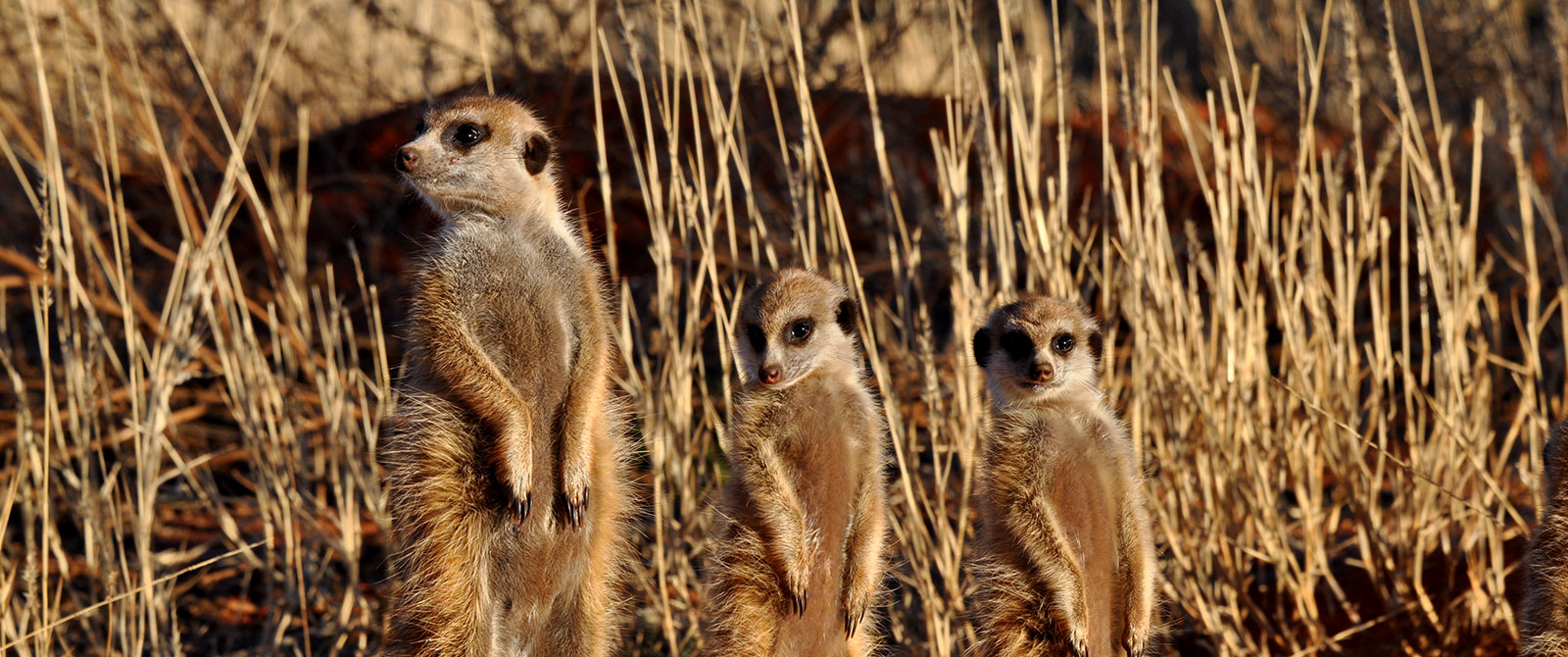 Habituated Meerkats at Tswalu Kalahari Game Reserve - Cape Town Explorer and Family Safari Adventure